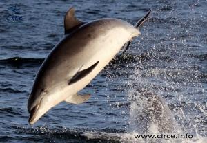 Delfín mular en el Estrecho de Gibraltar ©CIRCE