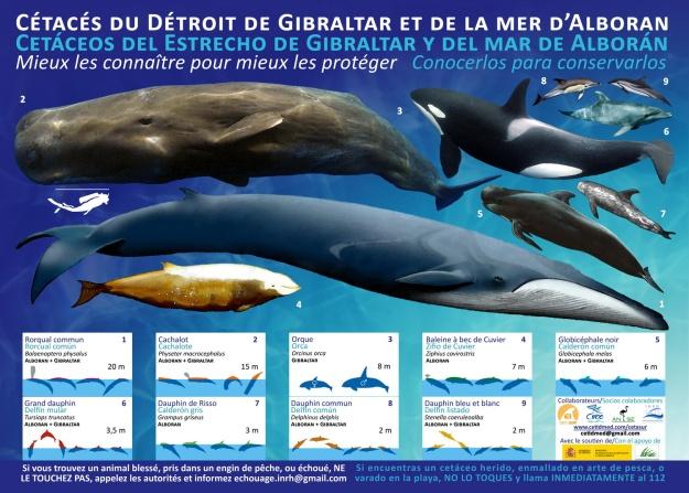 Poster A3 para mejorar los conocimientos sobre los cetáceos de Alborán