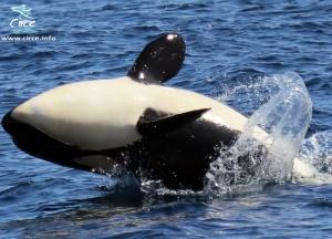 Cría de orca saltando en el Estrecho de Gibraltar (CIRCE)