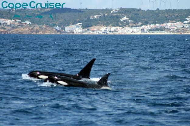 Orcas en Sagres, Algarve, Portugal (Capecruiser.org)